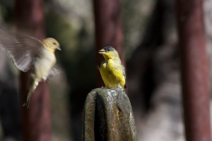 9 goldfinch 1