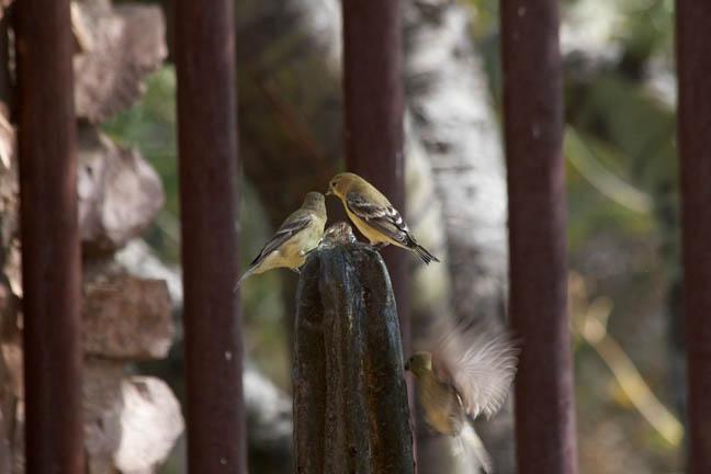 9 goldfinch 12