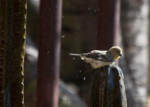 9 goldfinch 3