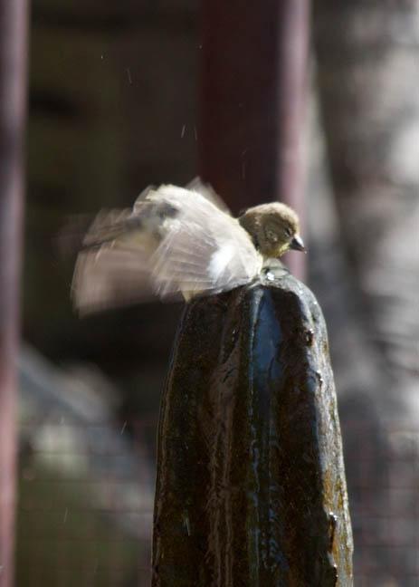 9 goldfinch 5