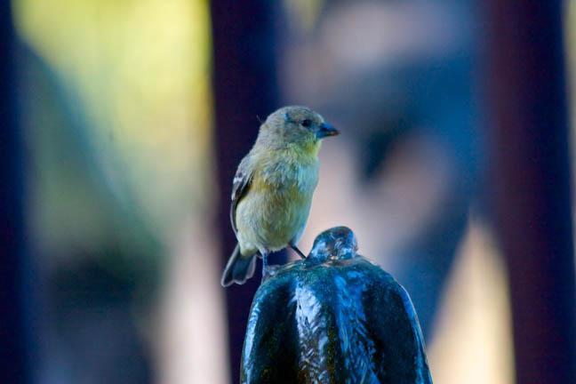 9 goldfinch 9