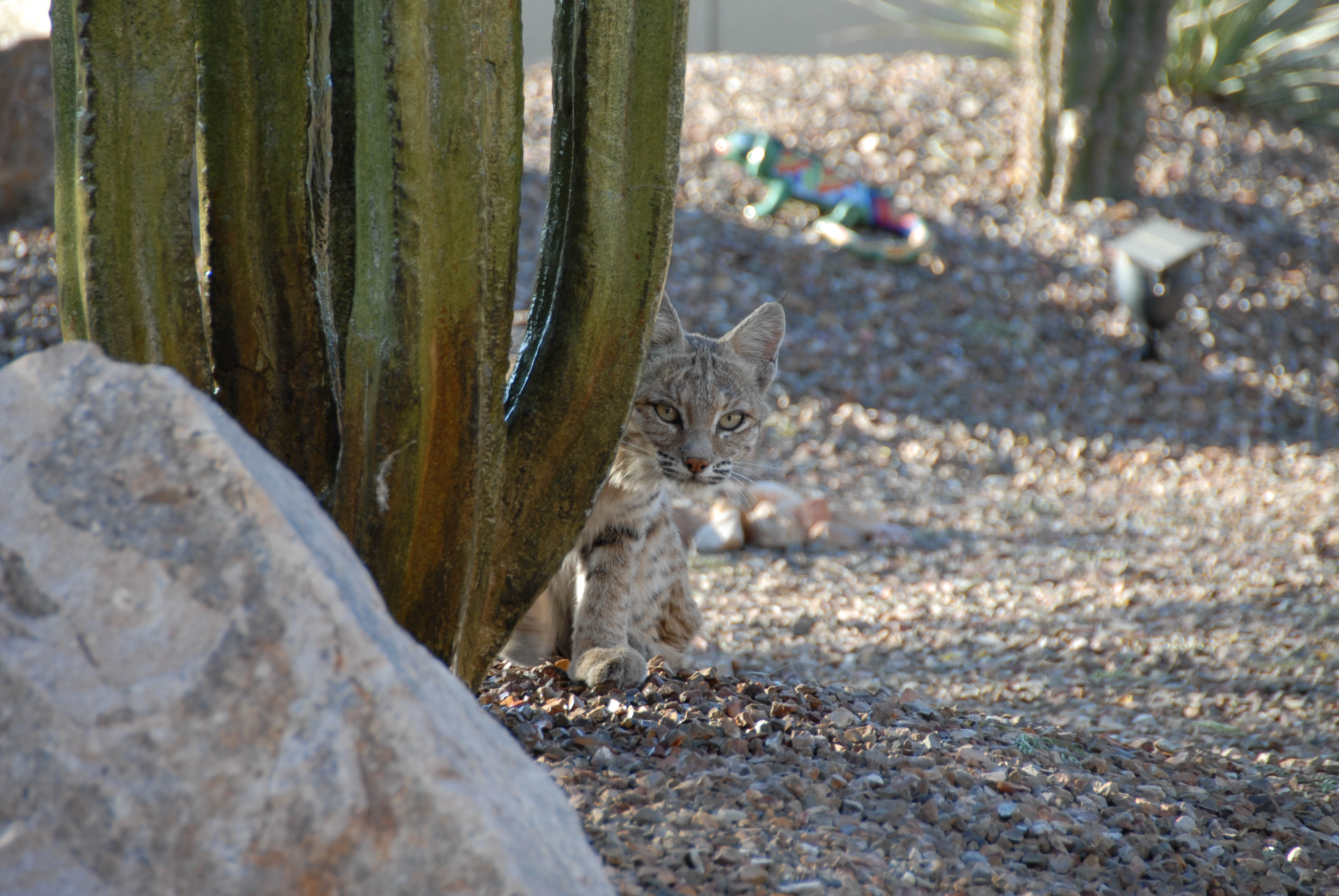 bobcats 35mm 002