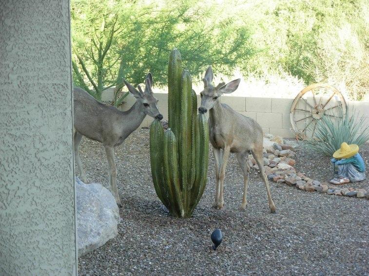 Mule deer fountain 7-3-08 029 (1)