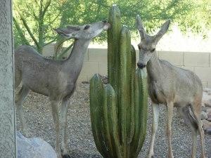 Mule deer fountain 7-3-08 033