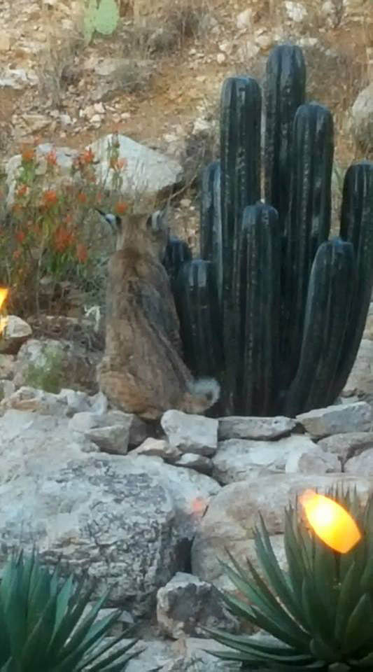 bobcat-at-fountain